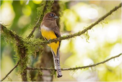 Black-throated Trogon, La Selva, Costa Rica, 26 March 2019