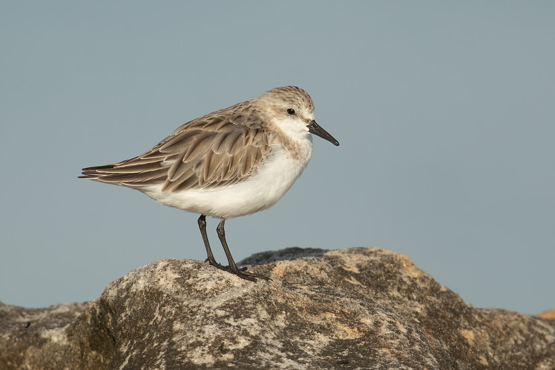 Red-necked Stint