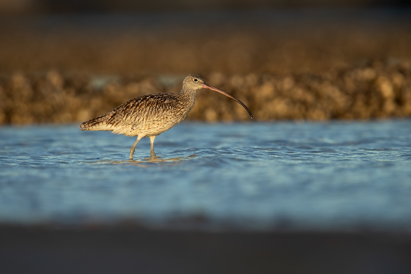 Far Eastern Curlew