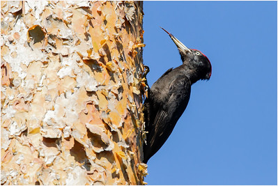Black Woodpecker, Turku, Finland, 26 May 2012