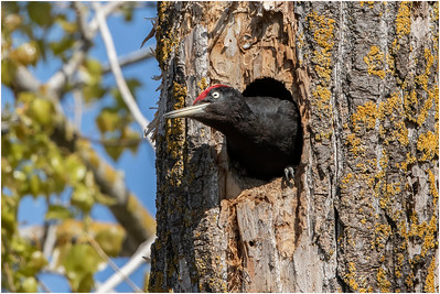 Black Woodpecker, Ultima Frontiera, Romania, 28 April 2018