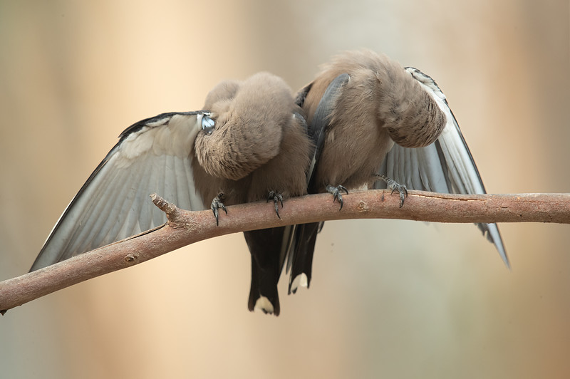 Dusky Woodswallow Pair