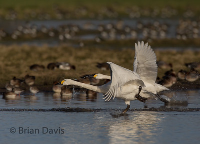 Bewick Swans taking off