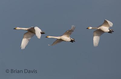 Bewick Swans 2