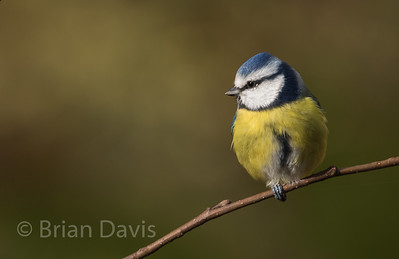 Blue Tit 8 (one legged Tit)