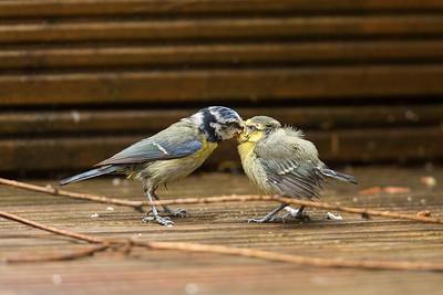 Blue tit feeding 2