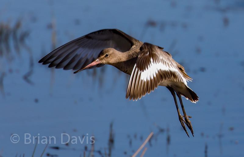 Black Tailed Godwit 2