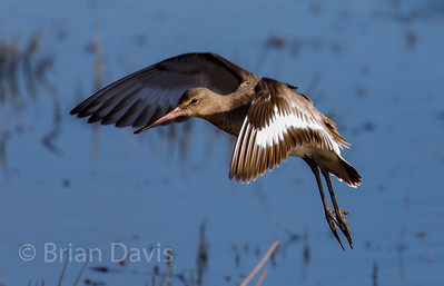 Black Tailed Godwit 2