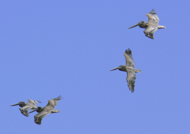Brown Pelicans over Point Fermin, San Pedro, CA, August 20 2006.