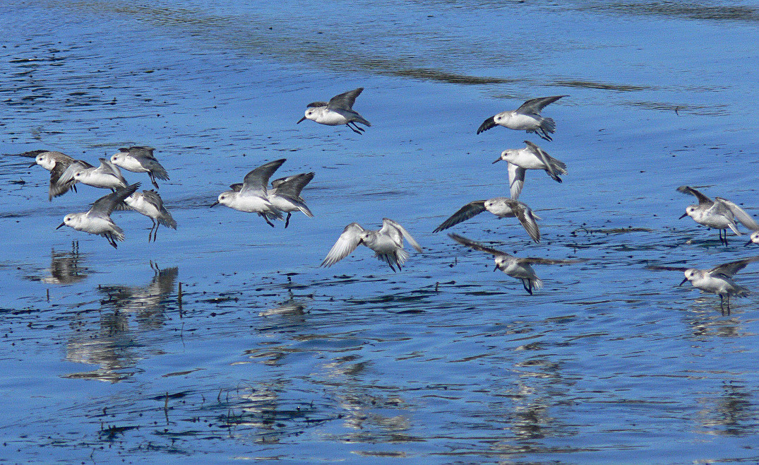 Sanderlings during low tide at Cabrillo Beach, San Pedro, CA, Nov 27 2005.