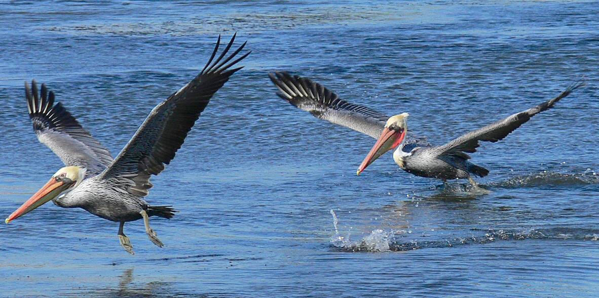 Brown Pelicans on takeoff, Cabrillo Beach, CA, October 29 2005.