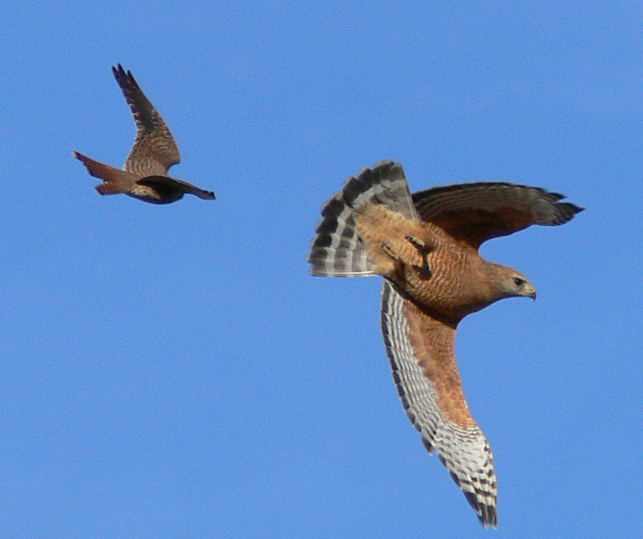 "And the reason for its hasty exit --- a Kestrel was, er, ""shooing"" it away."