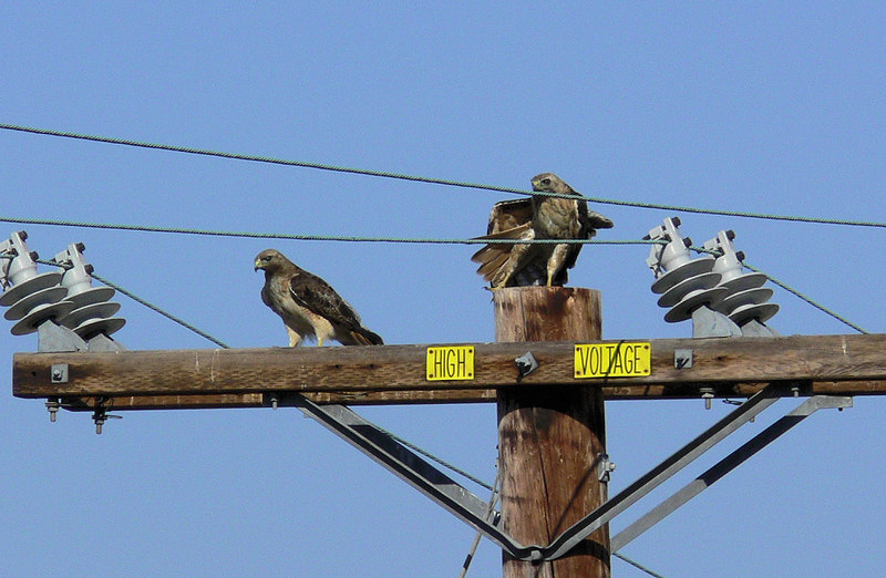 I'm lucky to have a Red-tail Hawk couple living on the hill across from my condo, so when I saw them perched on their favorite telephone pole I rushed over to get this 3-pic sequence, complete with Scrub Jay watching the ensuing flight frenzy with seeming unconcern...