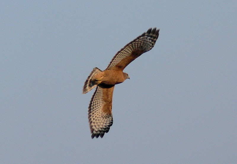 While I was concentrating on the Kestrel couple a Red-Shouldered Hawk flew onto the Kestrel perch. I took this and the following shot pretty much off-the-cuff as it was flying away.