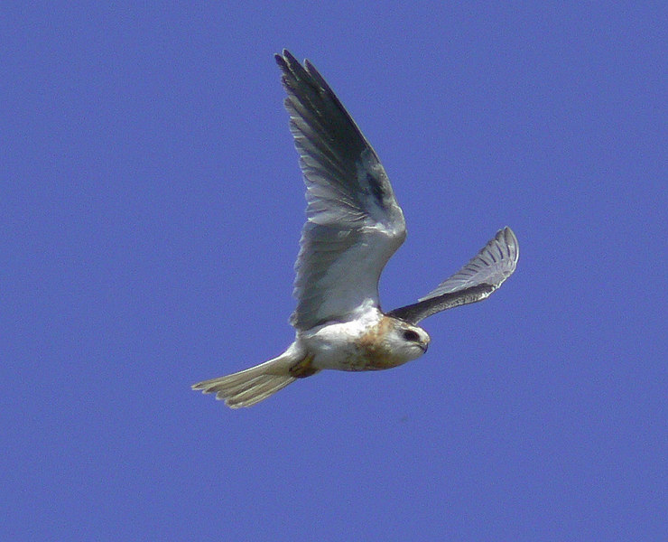 Juvenile (1st year) White-Shouldered Kite, Newport Back Bay, Newport Beach, CA, July 8 2006.