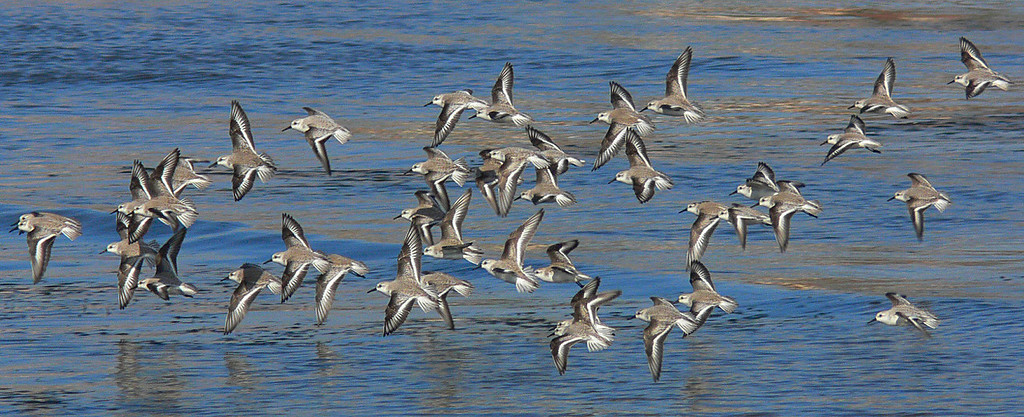 Sanderlings during low tide at Cabrillo Beach, CA, late 2005.