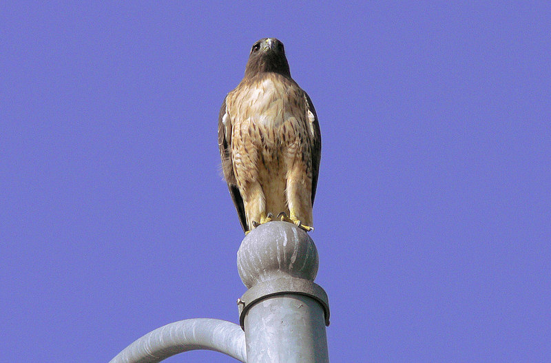 Mina the female Kaiser Red-tail Hawk sometimes perches on a light pole near Harbor Park across from Kaiser Hospital scanning the ground for prey.  I never know when she'll be there, and it usually seems to happen on cloudy days, but this time it was a blue sky with the sun behind and to the left of me. I pre-focused on the still Mina, made a double-check for my BIF settings...and waited...and waited...