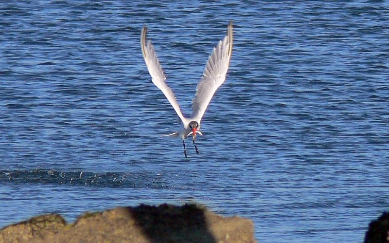 This and the following 2 photos show a Caspian Tern coming up with a snack. Most of my Birds-in-Flight shots are taken using the FZ30's high-burst mode which gives me a maximum of 5 pics at a speed of 3 frames per second. I also use a high-speed Secure Digital card; currently (June 2006) I'm using a Corsair 2GB 133x card.