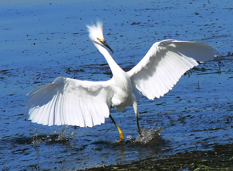 Snowy Egret in for a landing, Cabrillo Beach, CA, Oct 2005.