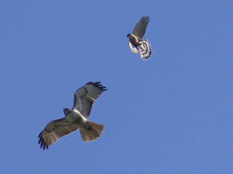 Red-tailed Hawk and Merlin, Angels Gate, San Pedro, CA, Feb 19 2006.