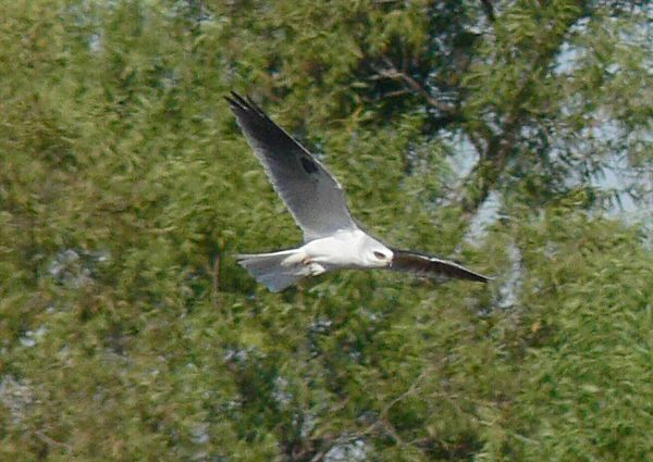 White-tailed Kite hunting at Ken Malloy Regional Park, Harbor City, CA, Oct 2005.