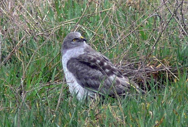 This male Northern Harrier was in the field behind my parents' house in Sequim, Washington state.