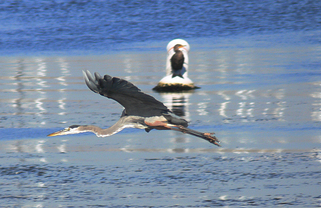 Great Blue Heron flyby with Cormorant as spectator, Cabrillo Beach, CA, November 2005.