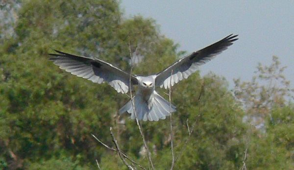 White-tailed Kite coming in for a landing on the branches.