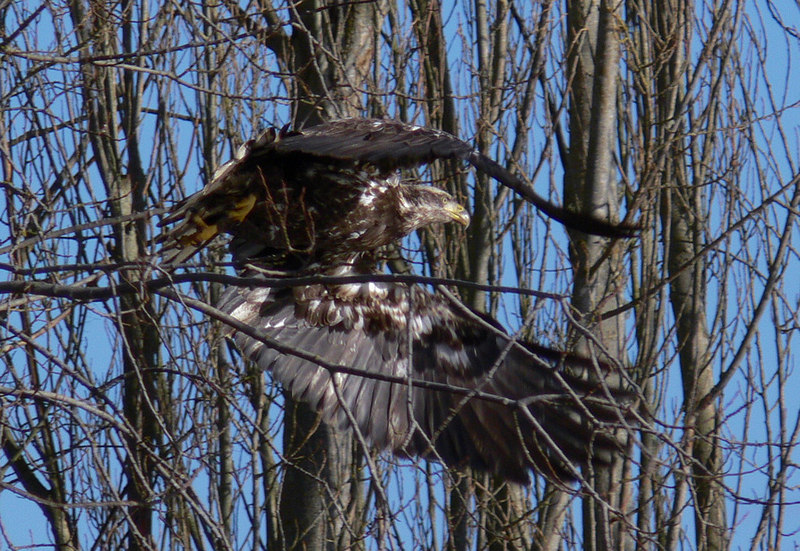 This and the following 2 pics were part of a 4-burst sequence taken using the RDS. The juvenile Bald Eagle was perched on a tree limb overlooking a pond at Dungeness on Washington State's Olympic Peninsula. I pre-focused on the eagle then waited for it to fly off.