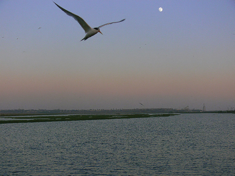 Tern and Moon taken at ISO 200, Bolsa Chica Ecological Preserve, Huntington Beach, CA, July 8 2006.