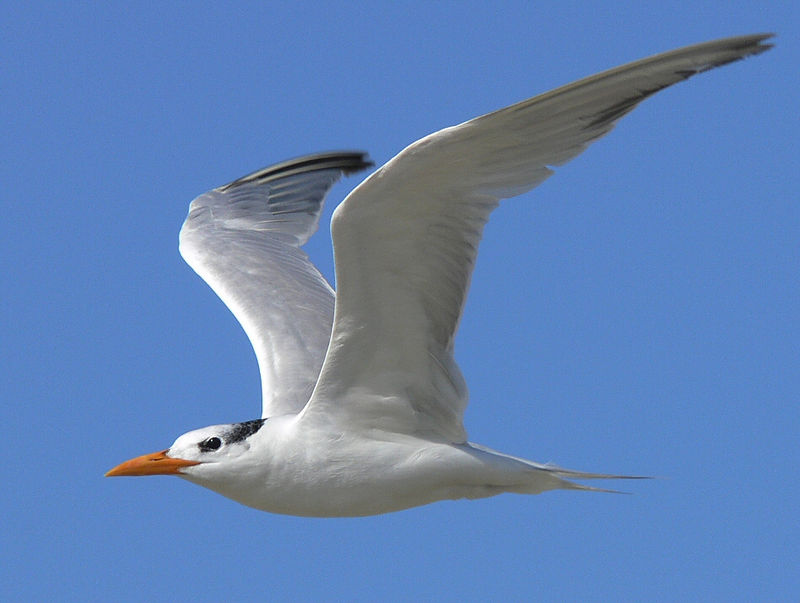 This is probably the best shot of a Tern that I can ever hope to get.  And it was all done thanks to the FZ30's high-speed auto-focusing.