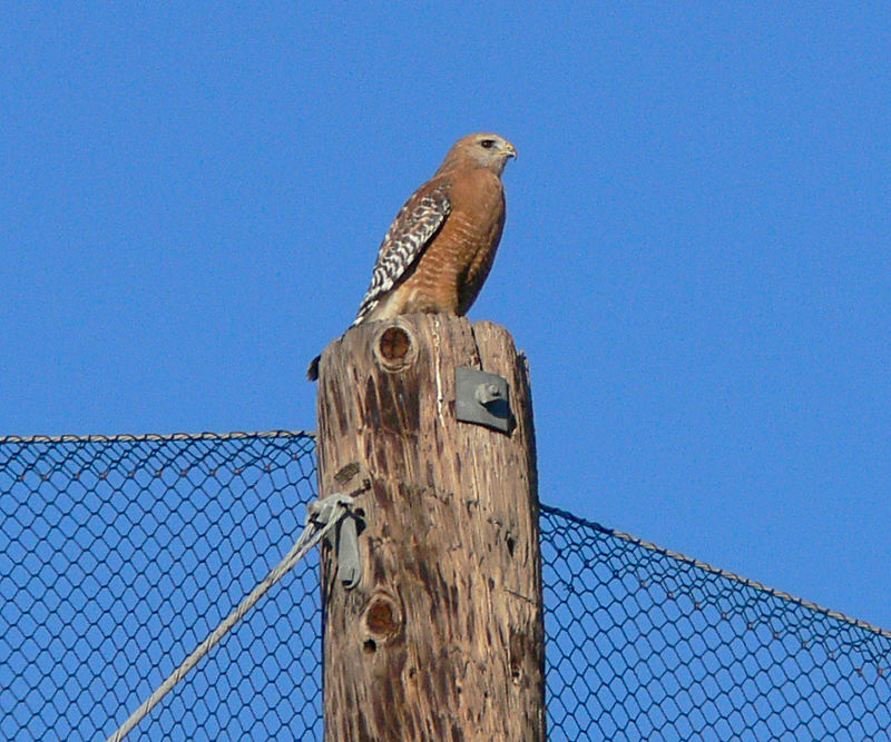 I saw this Red-Shouldered Hawk at Ken Malloy Harbor Park in Harbor City, CA across from Kaiser Hospital where I work. It was perched on a tall pole supporting netting used to stop the golf balls from a neighboring driving range.  I pre-focused my FZ30, sighted through the Red-Dot Sight...and waited for it to take off.  The following 3 pics were the result, shot once again with the FZ30's high burst mode at 3 frames per second.