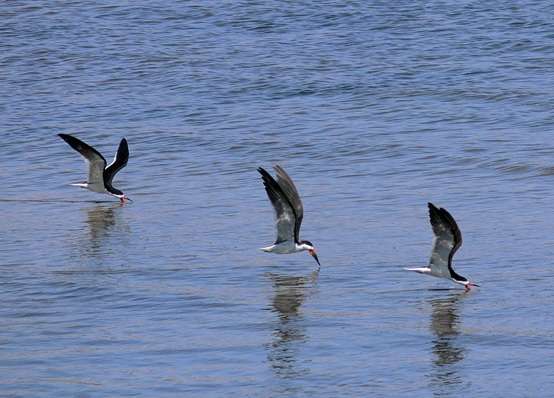 Here's an example--to me, at least--of grace and coordination personified. These Black Skimmers at San Pedro's Cabrillo Beach were, well, skimming. IS0 80, f4.5, 1/1300 sec @ 420mm.