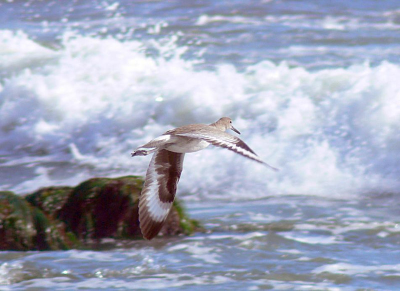 For this and the following Snowy Egret shot I used 3-area high-speed AF but it was hard to achieve focus lock on the bird with all the wave action going on in the background. Possibly 1-area AF would work better in this case, or perhaps manually focusing on an object, say the rocks on the left, then wait until the bird is at approximately the same distance before snapping the shutter.