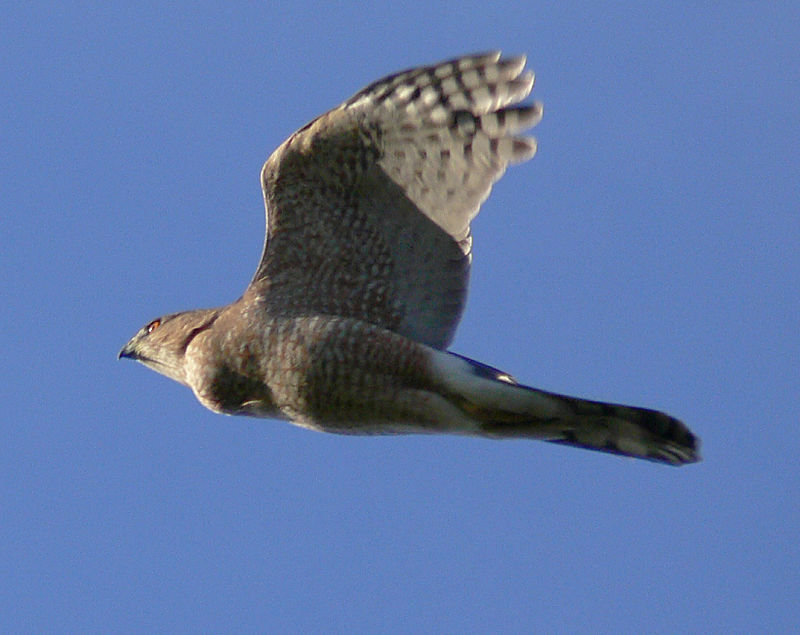 Sharp-Shinned Hawk at Sequim, WA, January 2006.
