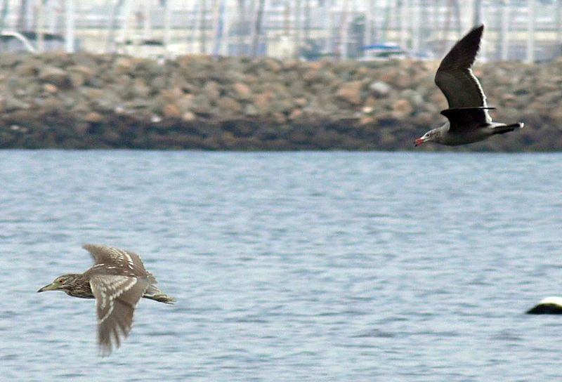 This sequence of 4 photos was completely off-the-cuff and I had no time for pre-focus.  This Heerman's Gull was chasing off a Black-Crowned Night Heron at Cabrillo Beach here in San Pedro, CA. It was an overcast day and my shutter speed was pretty slow (1/400 sec) but the 3-area high-speed Auto-focus of the FZ30 locked in focus quickly for the succession of shots.  ISO was at 100.