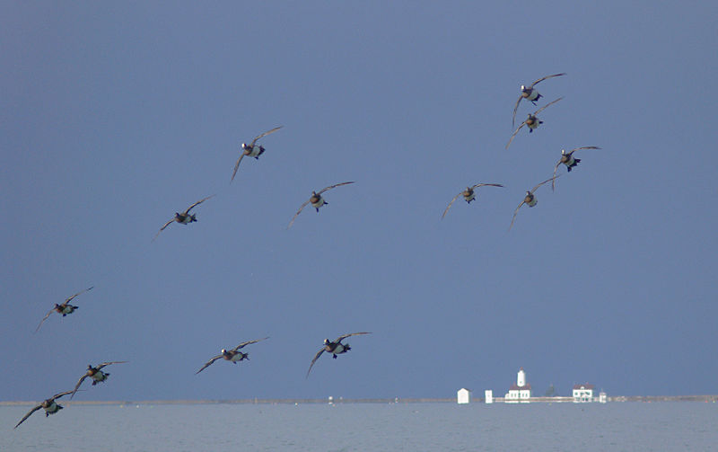 These American Wigeons look like jets banking in close formation...Taken near Dungeness Nat'l Wildlife Refuge in Washington State That's Dungeness Lighthouse in the background.
