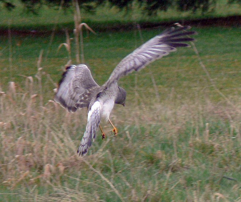 The lighting wasn't the best as there were cloudy conditions so I upped the ISO to 100 and got a decent pic of the Harrier as he took off...