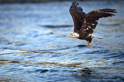 Young Bald Eagle  flying home