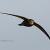 A bird I thought I'd never get in flight because they always seem to be so high. Swift at Exminster marshes