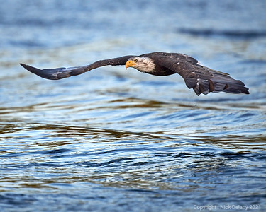 Immature Bald Eagle flying low over the sea