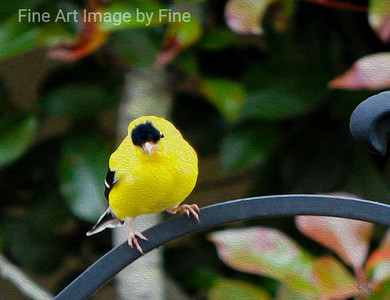 Golden Finch