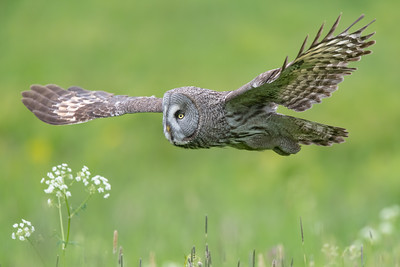 Great grey owl , Lappuggla