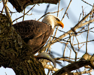 Conowingo, MD/Eagles