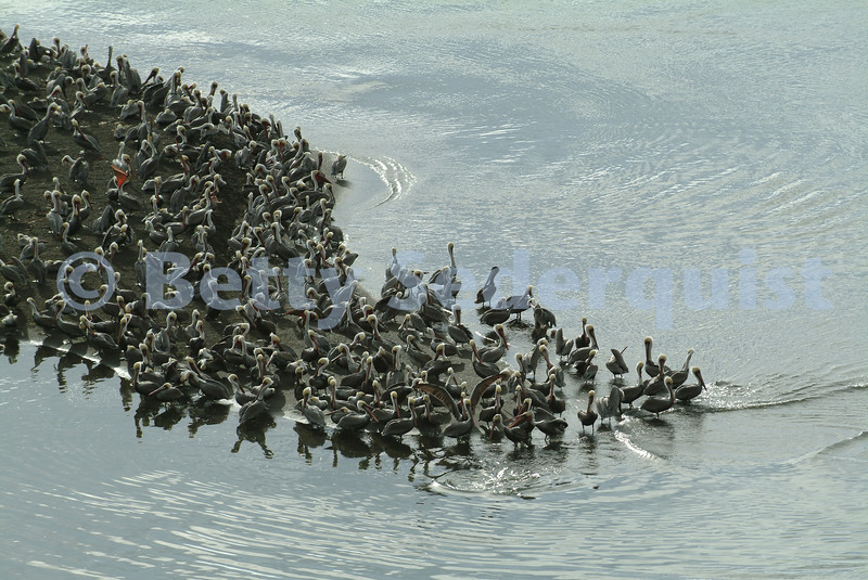 Brown Pelicans, Jenner