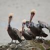 Brown Pelicans, Tomales Bay