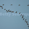 Canada Geese Formation Flying