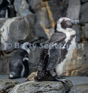 African Penguin, Monterey Bay Aquarium