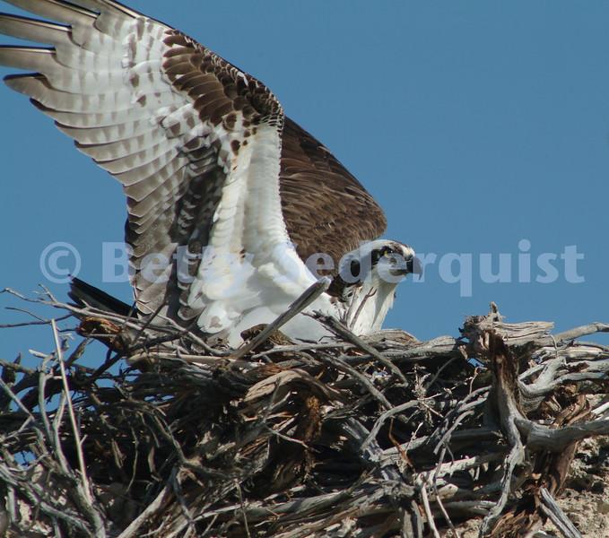 Osprey, Mono Lake Lake