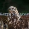 Red Tailed Hawk with Wings Out